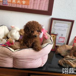 紅貴賓幼母4179(內有影片)